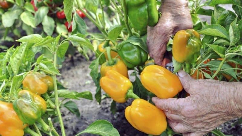 Когда снимать перцы с куста: собираем урожай вовремя