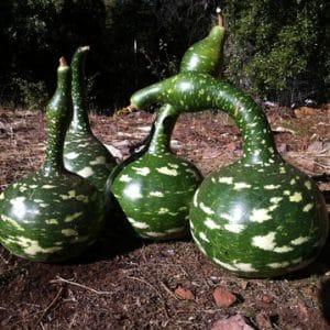 """Обзор сорта лагенарии """"Гусь в яблоках"""": чем хорош и почему стоит выращивать на своем участке"""