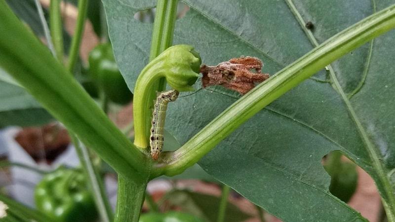 Листья сладкого перца все в дырках: кто ест урожай и как бороться с вредителями
