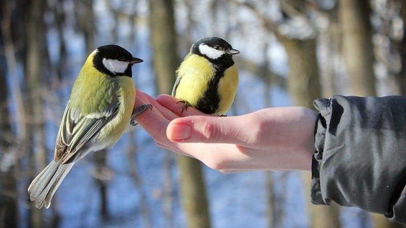 Можно ли кормить птиц рисом и другими крупами