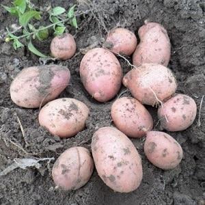 """Надежный и любимый фермерами сорт картофеля """"Альвара"""" от немецких селекционеров"""
