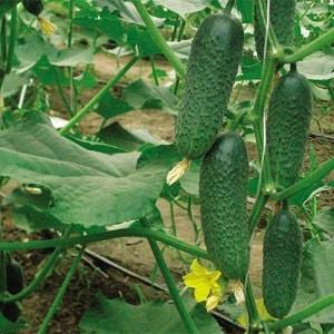 """Неприхотливый гибрид огурцов """"Чайковский f1"""", дающий богатый урожай даже при минимальном уходе"""