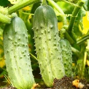Неприхотливый гибрид огурцов {amp}quot;Чайковский f1{amp}quot;, дающий богатый урожай даже при минимальном уходе