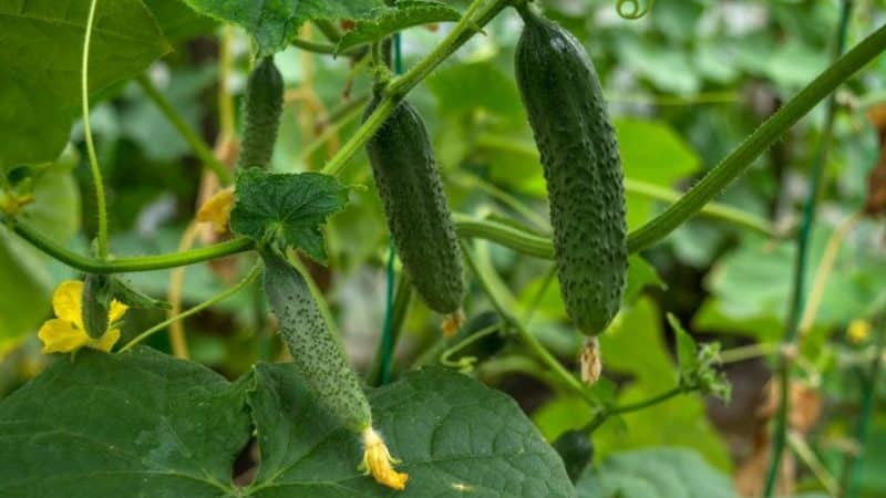 Огурец Лилипут описание и характеристика сорта урожайность с фото