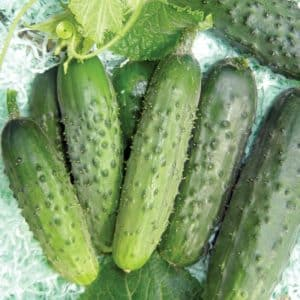 Огурец Пальчик описание и характеристика сорта выращивание и уход с фото