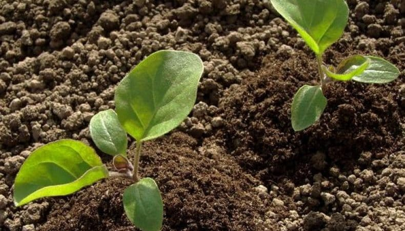 Особенности посадки баклажанов в открытый грунт