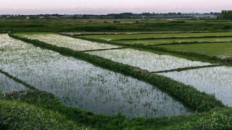 Особенности выращивания риса в Краснодарском крае