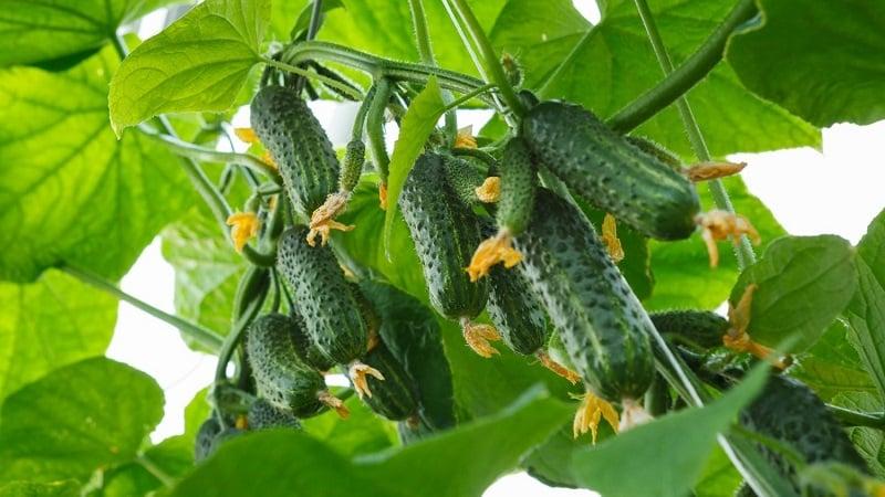 Огурцы Сибирская гирлянда ф1: описание гибрида, фото отзывы садоводов, которые их выращивали