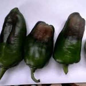 Что делать, если плоды перцев чернеют: выявляем причину и эффективно боремся с ней