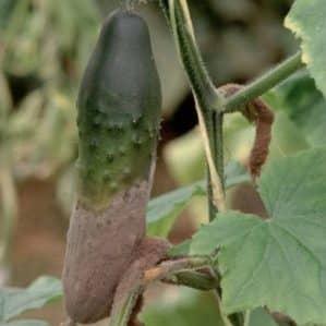 Почему гниют огурцы в теплице и что делать, чтобы спасти свой урожай