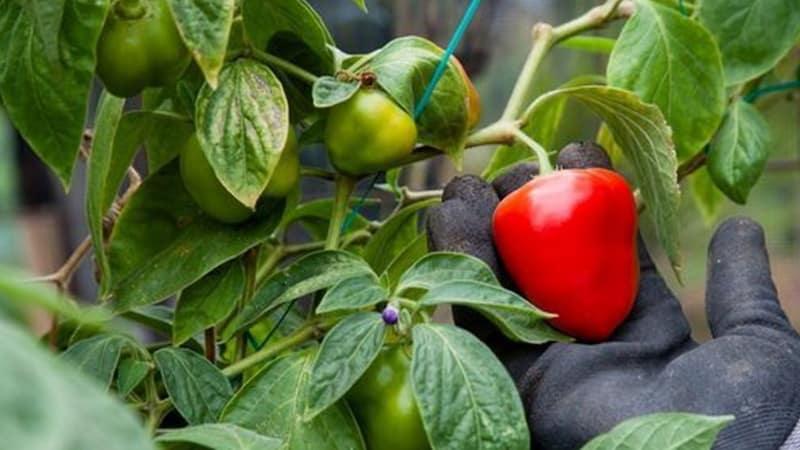 Почему не краснеет перец в теплице: выясняем причину и ускоряем созревание