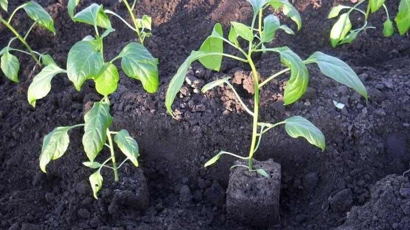 Почему не растут перцы: возможные причины возникновения проблемы и методы их решения