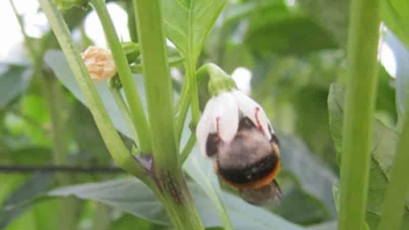 Почему опадают завязи у перцев в теплице и что делать, чтобы спасти свой урожай