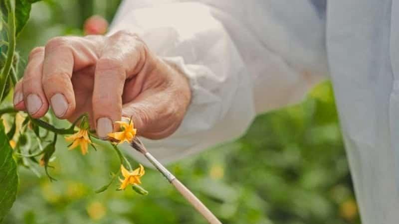 Почему опадают зеленые помидоры в теплице: быстро определяем причину и эффективно боремся с ней