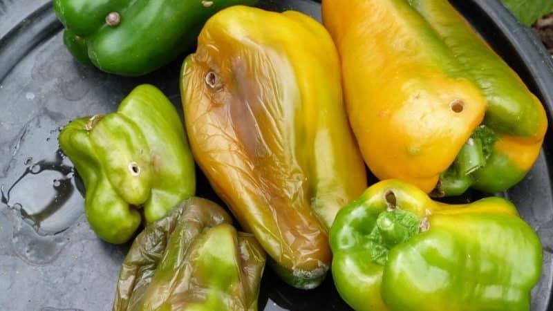 Почему перец гниет на кусте: выявляем причину проблемы и эффективно спасаем свой урожай