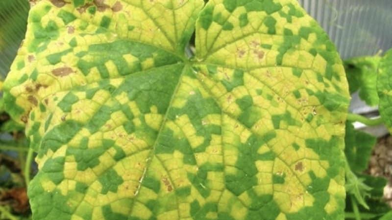 Почему появляются белые пятна на листьях огурцов и что делать, чтобы спасти урожай