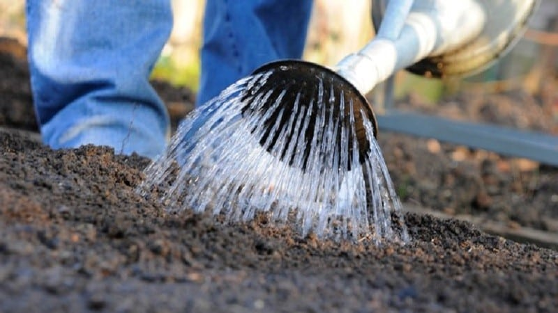 Почему редис уходит в цвет и как его выращивать, чтобы предотвратить проблему