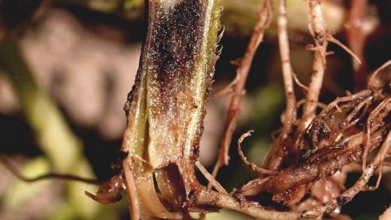 Почему вянет перец в открытом грунте и что делать, чтобы спасти свой урожай