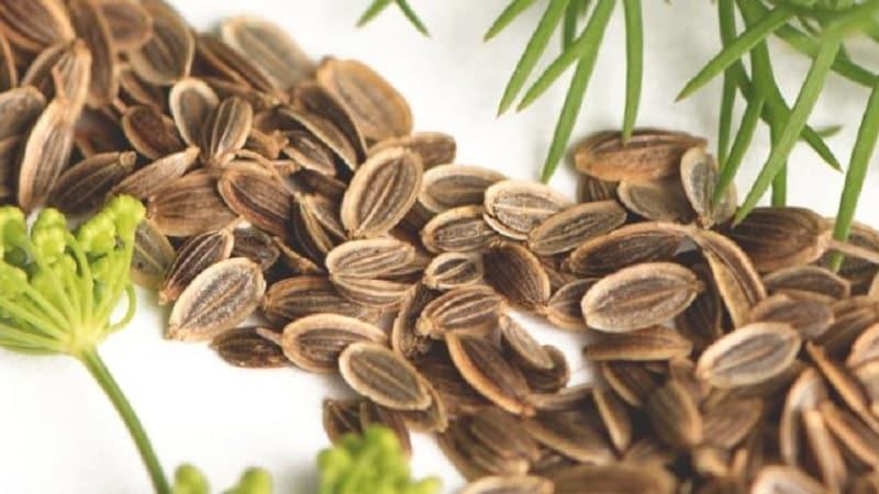 Чем полезны семена укропа для организма