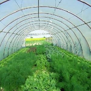 Пошаговая инструкция по выращиванию укропа в теплице круглый год