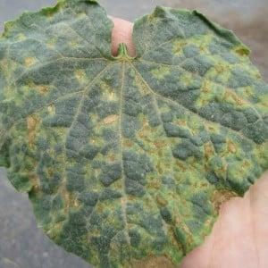 Появились желтые пятна на листьях огурцов: что делать для спасения урожая