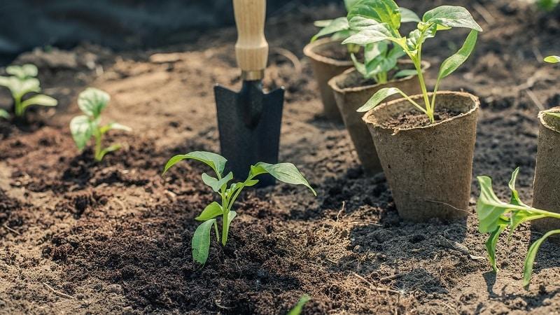Правила высадки перца: подготовительный этап, сроки и нюансы процесса