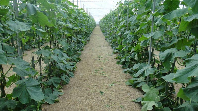 При какой ночной температуре растут огурцы в открытом грунте и в теплице