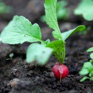 Уход за гибридом редиса Селеста для получения вкусных и больших плодов