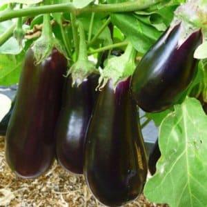 Секреты подкормки баклажанов для богатого урожая