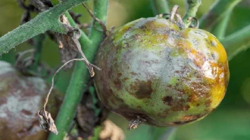 Сохраняем пораженный урожай томатов или как спасти помидоры от фитофторы, если они уже заболели