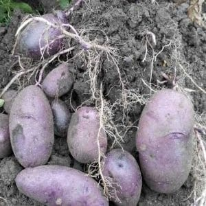 """Высокоурожайный фиолетовый сорт картофеля """"Василек"""" от отечественных селекционеров"""