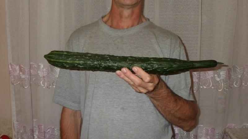 """Среднеранний гибрид огурцов """"Настоящий мужик"""" с устойчивыми крепкими кустами и крупными плодами"""