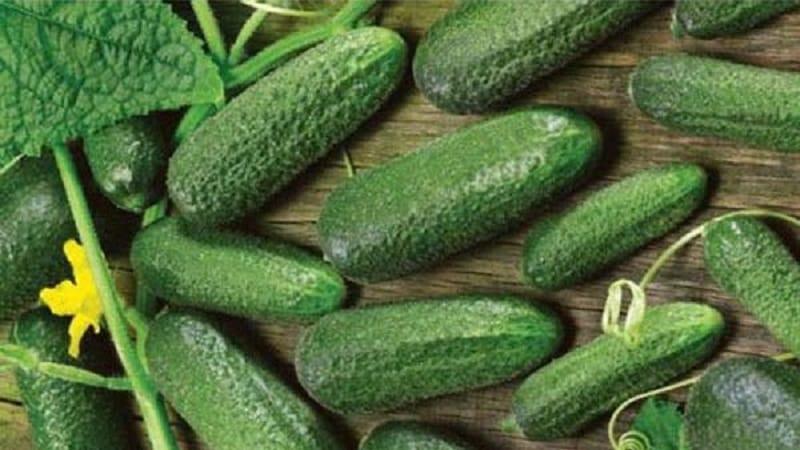 """Среднеранний самоопыляемый огурец """"Патти"""": секреты агротехники и отзывы об урожае"""