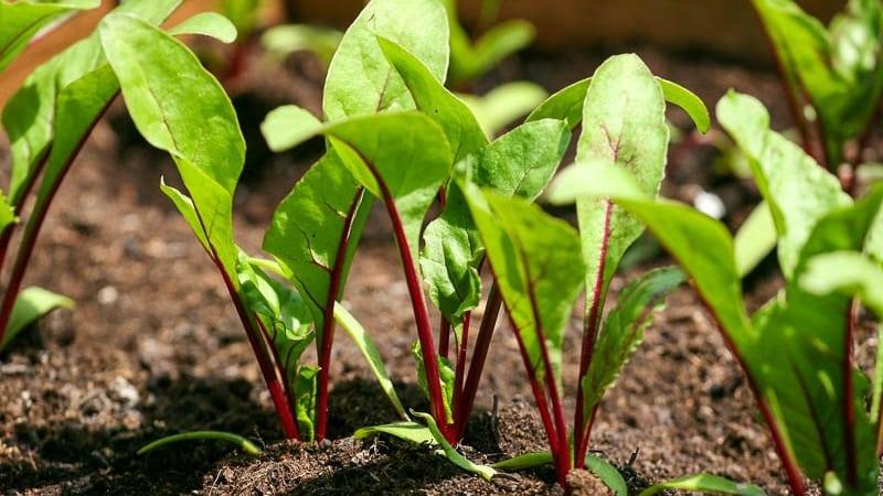 Свекла плохо растет - чем подкормить: определяем нехватку микроэлементов и подбираем лучший состав удобрения