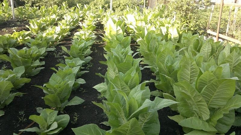 """Самый популярный сорт табака """"Вирджиния"""" для выращивания на участке и в домашних условиях"""