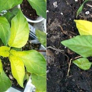 У перцев опадают листья: что делать для спасения своих посадок и предотвращения проблем