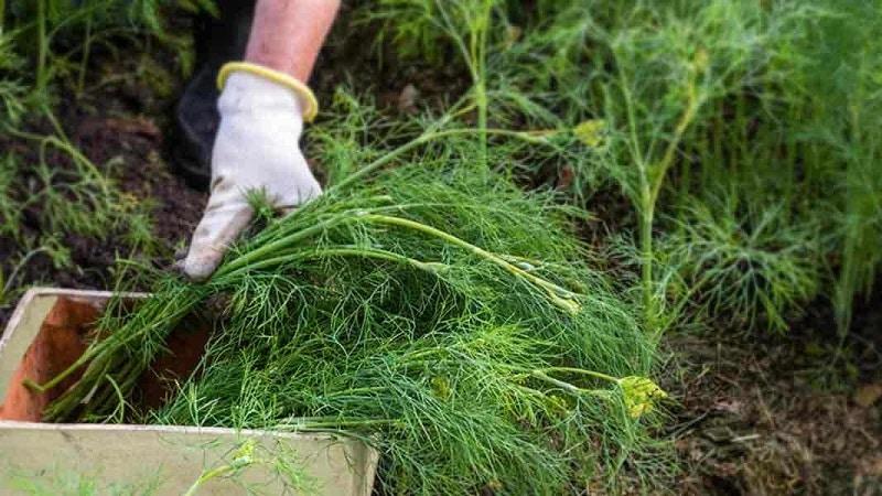 Укроп плохо растет - чем подкормить для хорошего урожая и как это сделать правильно