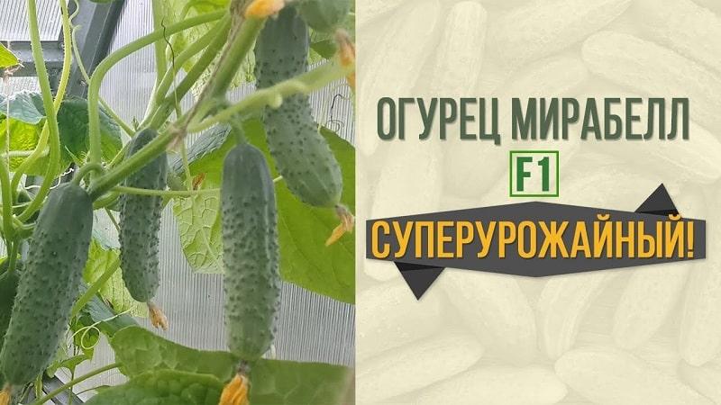 """Урожайный гибрид огурцов """"Мирабелла"""" для теплиц и открытого грунта"""