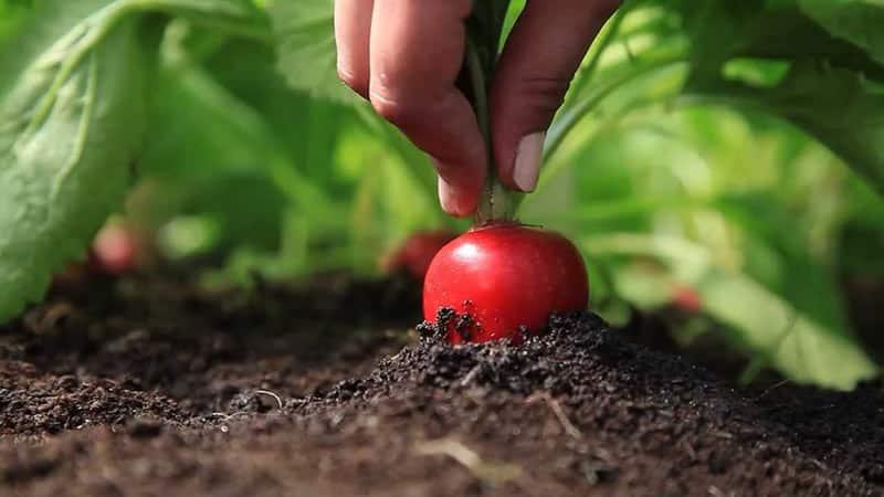 Выбираем лучшее удобрение для редиски и вносим подкормку правильно
