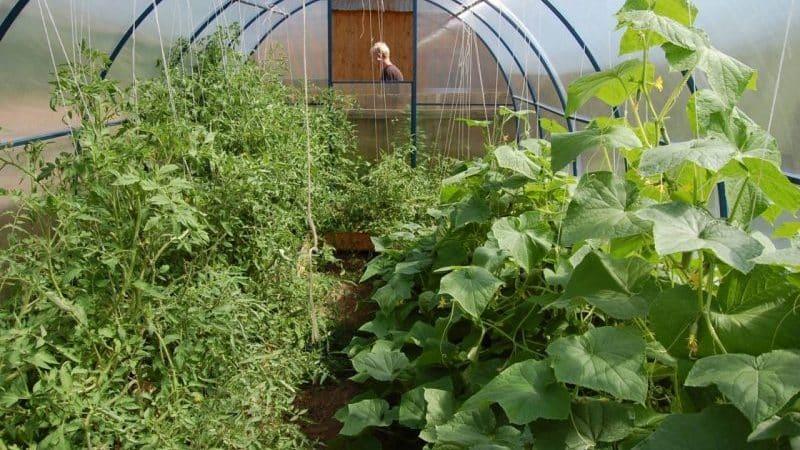 Уход за огурцами и помидорами в теплице