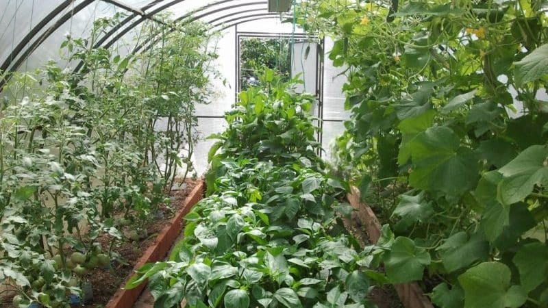 Можно ли выращивать огурцы и помидоры вместе в одной теплице из поликарбоната