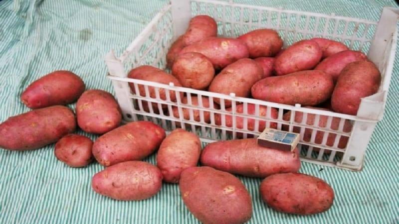 """Среднеранний, неприхотливый сорт картофеля """"Ред фэнтези"""" с яркими овальными клубнями"""