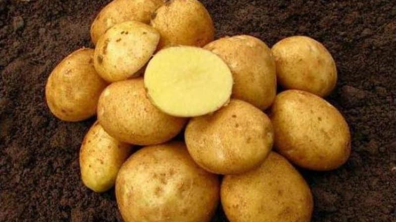 Среднеспелый столовый сорт картофеля Волат