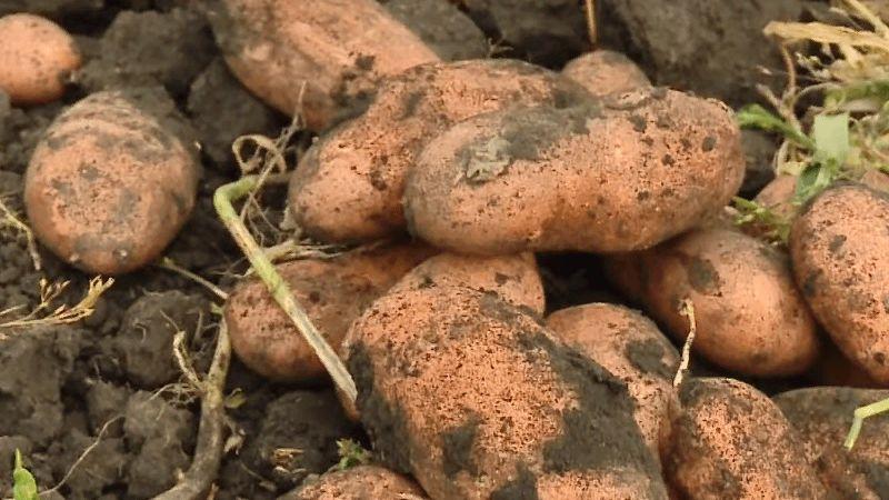 """Неприхотливый сорт картофеля """"Утро раннее"""": смогут вырастить даже новички"""