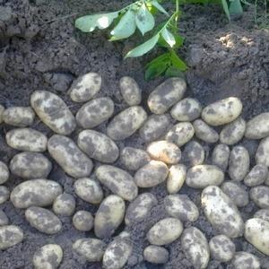 """Среднеранний устойчивый сорт картофеля """"Сатина"""", не требующий особых усилий при выращивании"""