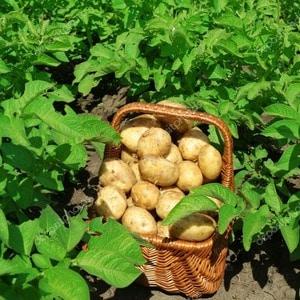 Описание и характеристика сорта картофеля Лаперла