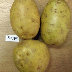 """Чем хорош немецкий сорт картофеля """"Зекура"""": описание, характеристика и отзывы"""