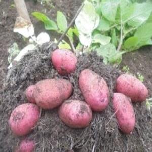 """Капризный в уходе, но очень урожайный и вкусный немецкий сорт картофеля """"Мерлот"""""""