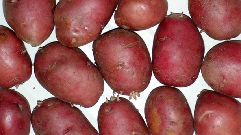 """Раннеспелый, морозоустойчивый сорт картофеля """"Розалинд"""""""