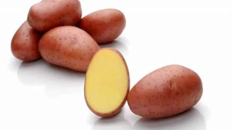 """Раннеспелый устойчивый к засухе сорт картофеля """"Ред Леди"""" для долгого хранения"""
